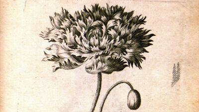 Poppy (Papaver Orientale - Oosterse klaproos)
