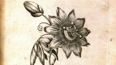 Passion Flower (Passiflora - Passiebloem)