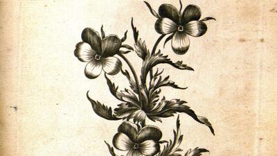 Hearts Ease (Viola Tricolor - Driekleurig Viooltje)