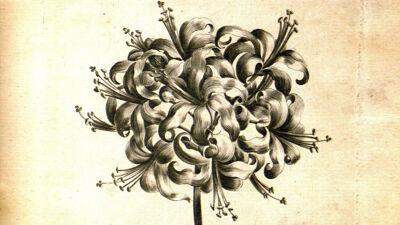 Guernsey Lilly (Nerine Sarniensis - Guernsey Lelie)