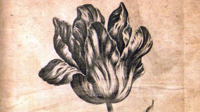 Tulip (Tulipa- Tulp)