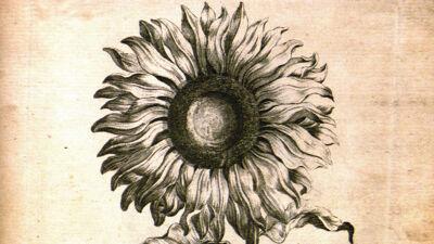 Sun Flower ( Helianthus - Zonnebloem)
