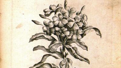 Lychnidoea (Lychnidea - Zandkruid)