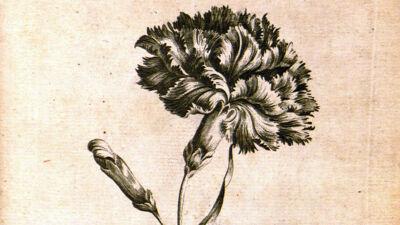 Carnation (Dianthus - Anjer)