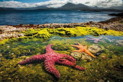 Ochre starfish