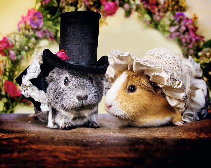 """Na de Zombieversie, de caviaversie : meet Mr Darcy en Elizabeth Bennet, sterren van de nieuwe """"Pride and Prejudice"""". Meer bij de Boekenlijstjes."""