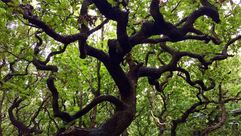 Grillige bomen in de duinbossen
