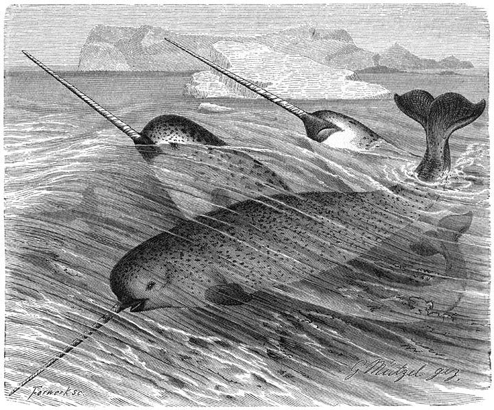 de narwal, eenhoorn van de zee