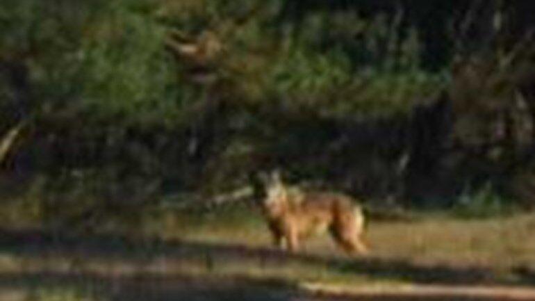 Wolf gezien op de Veluwe in Nederland