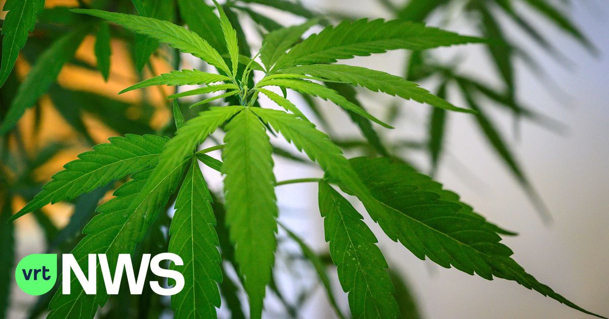 400 cannabis plants discovered at a house in Hoeilaart