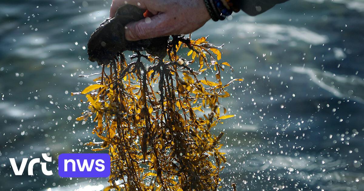 Première en Belgique: des algues seront récoltées la semaine prochaine en Mer du Nord