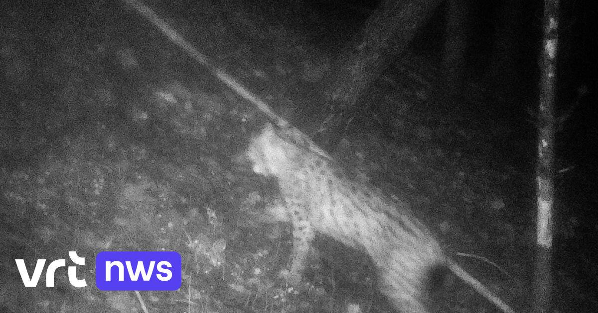 """Wildlifespotter maakt nieuwe foto's van""""Lynx van den Aldi"""" in de Belgische Semoisvallei"""