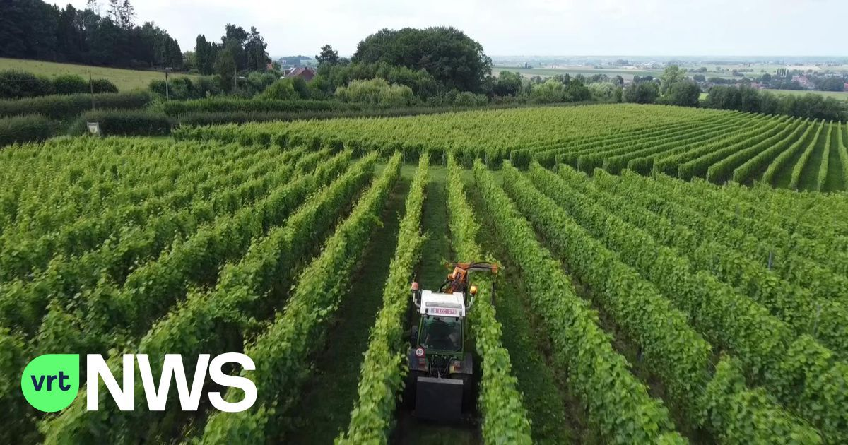 """Valse meeldauw speelt wijnranken parten: """"Bijna alle wijngaarden aangetast door schimmelinfecties"""""""