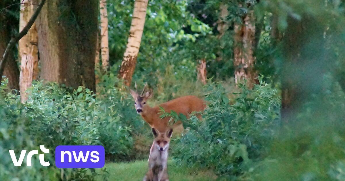«Het lijkt wel een sprookje»: Brasschaatse slaagt erin een ree en een vos samen vast te leggen op foto