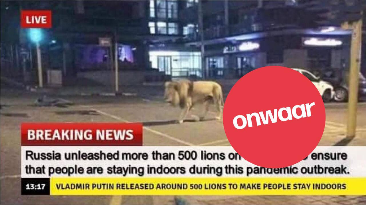 Een foto vanuit Rusland waar een leeuw door de straat loopt.