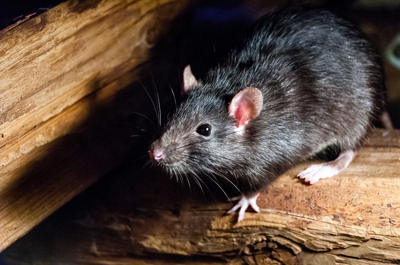 Afbeelding van een rat.