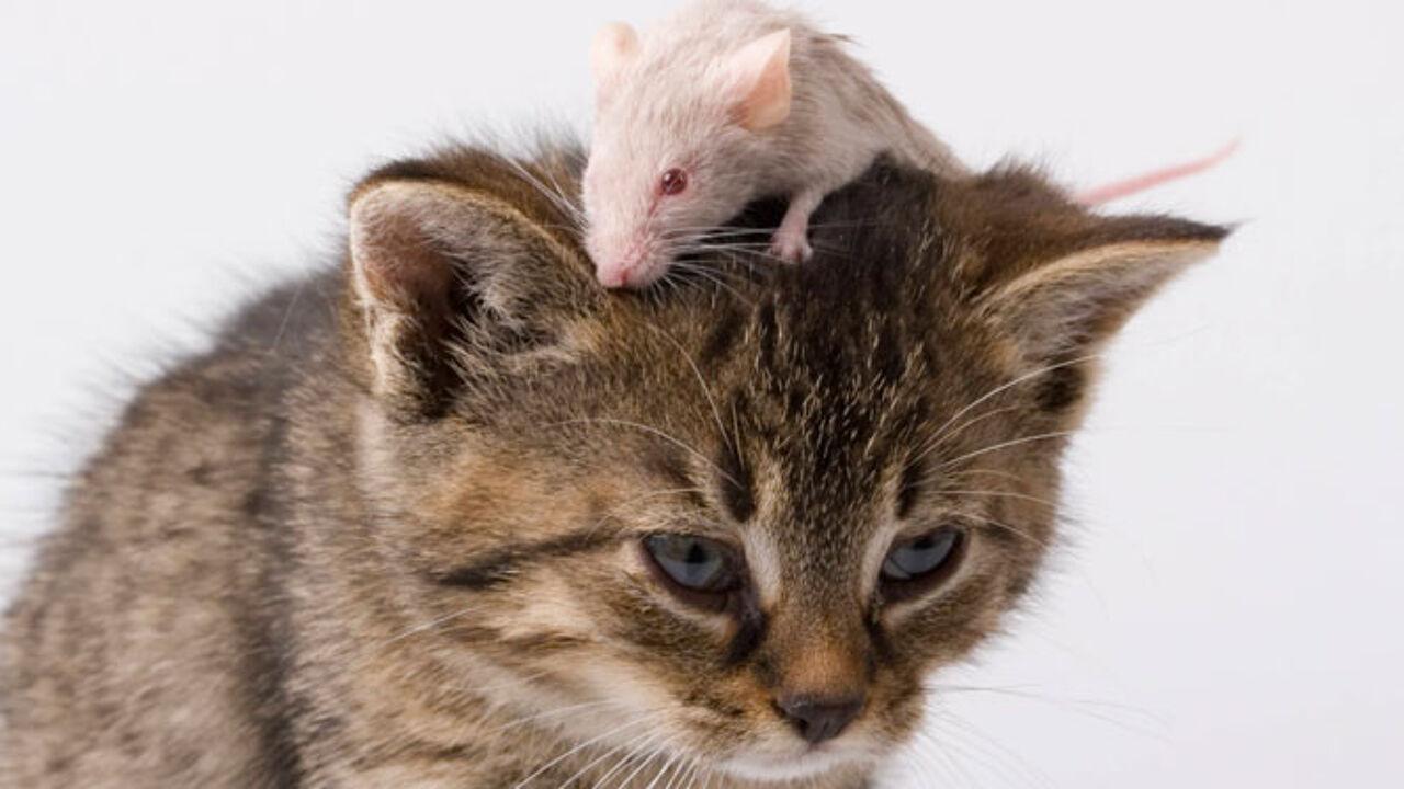 картинка кот с мышкой на голове ситуации