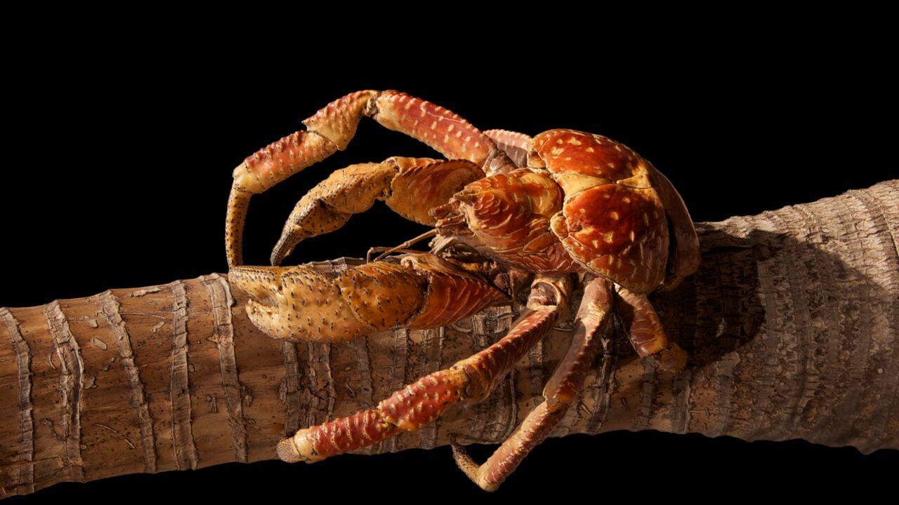 Krabben, hier een kokoskrab, en bomen vormen de grondstof voor de nieuwe flexibele folie.