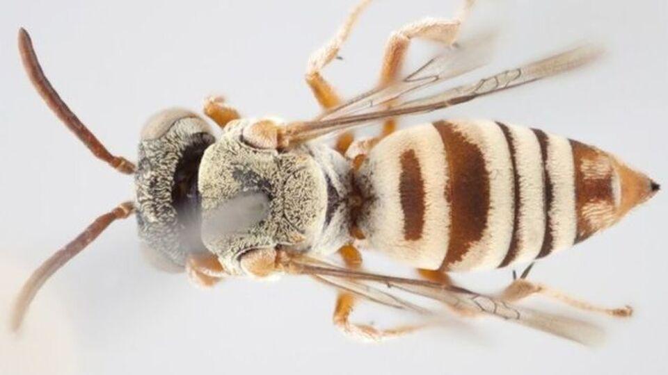 Een vrouwtje van de nieuwe soort Epeolus attenboroughi.Foto: Thomas Onuferko
