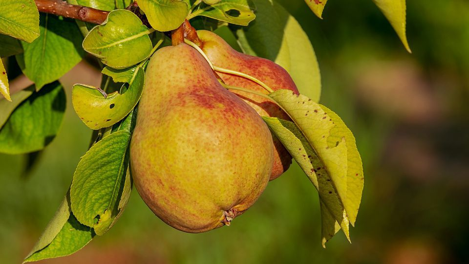 Pear growers in crisis